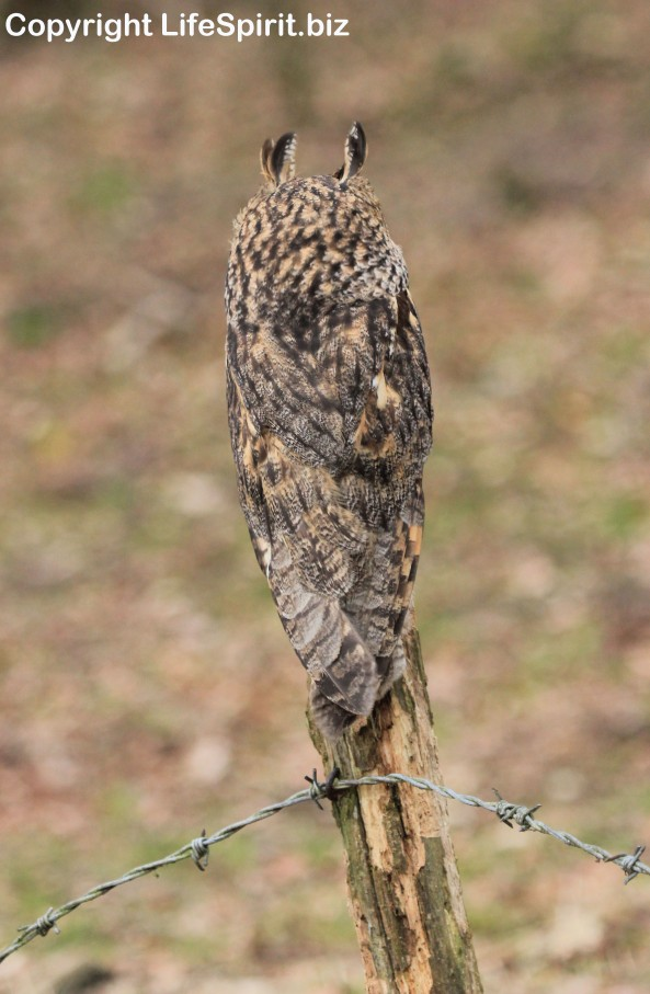 Long-eared Owl, Bird of Prey, Nature, Wildlife Photography, Mark Conway, Life Spirit