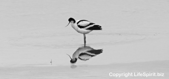 Avocet, Nature, Wildlife Photography, Birds, Life Spirit, Mark Conway