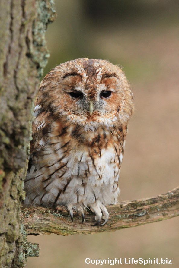 Tawny Owl, Bird of Prey, Mark Conway, Life Spirit, nature, Wildlife Photogrpahy