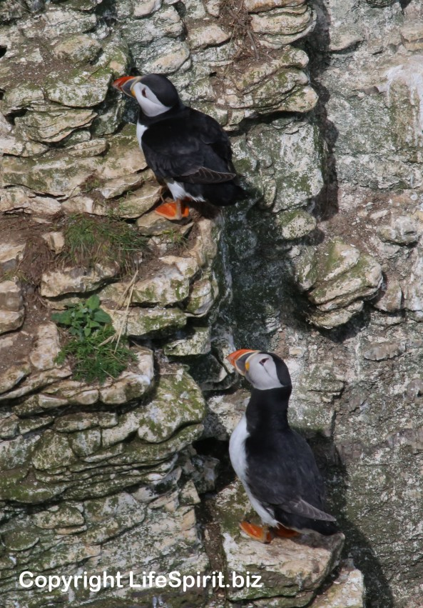 Puffin, Bempton Cliffs, East Yorkshire, Mark Conway, Life Spirit, Nature