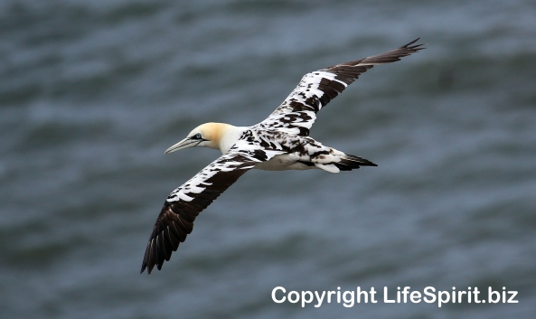 Gannet, East Yorkshire, Bempton Cliffs, Life Spirit, Mark Conway, Nature, Wildlife Photography
