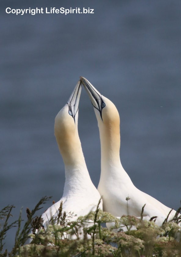 Gannet, Bempton Cliffs, East Yorkshire, Birds, Wildlife Photography, Life Spirit, Mark Conway
