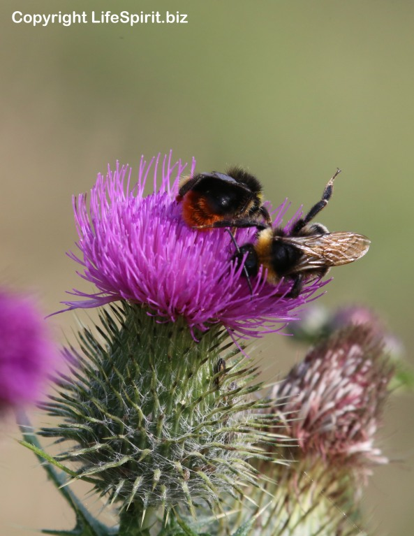 Bee, Thistle, Nature, Wildlife, Life Spirit, Mark Conway, Photography