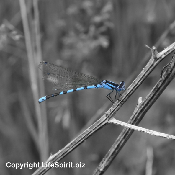 Damselfly, Nature, Wildlife, Photography, Mark Conway, Life Spirit
