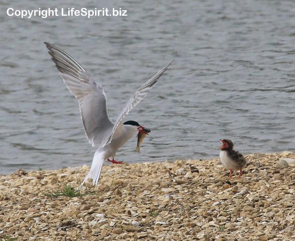 Common Tern, Birds, Wildlife, Nature, Mark Conway, Life Spirit