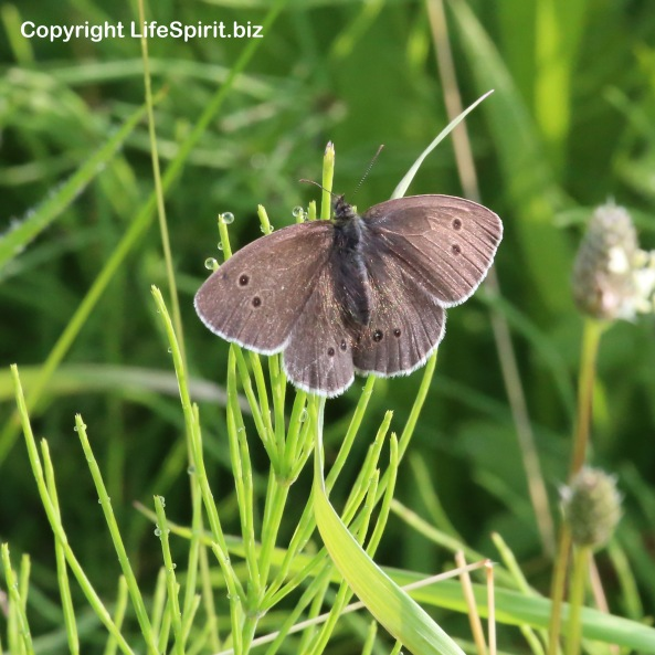 Meadow Brown, Butterfly, Mark Conway, Wildlife, Nature, Mark Conway, Life Spirit