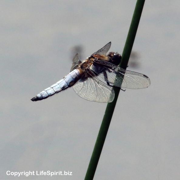 Dragonfly, Nature, Wildlife Photography, Mark Conway, Life Spirit