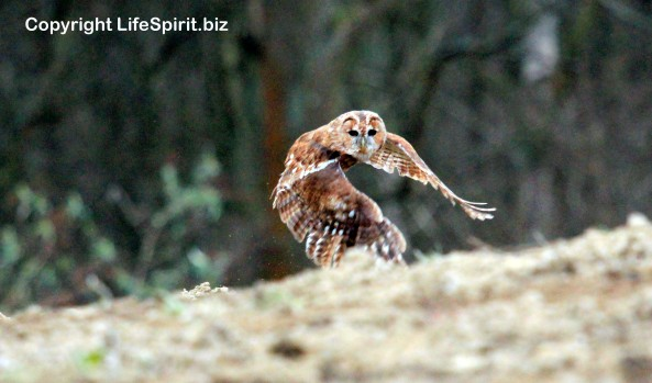 Tawny Owl, Life Spirit, mark Conway, nature, Wildlife Photography