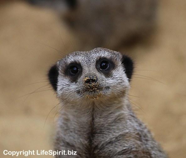 Meerkat, Nature, Wildlife, Nature Photography, Mark Conway, Life Spirit