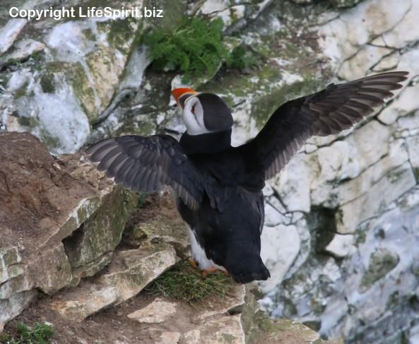 Puffin, Bempton Cliffs, Life Spirit, Mark Conway, Nature, Wildlife Photography