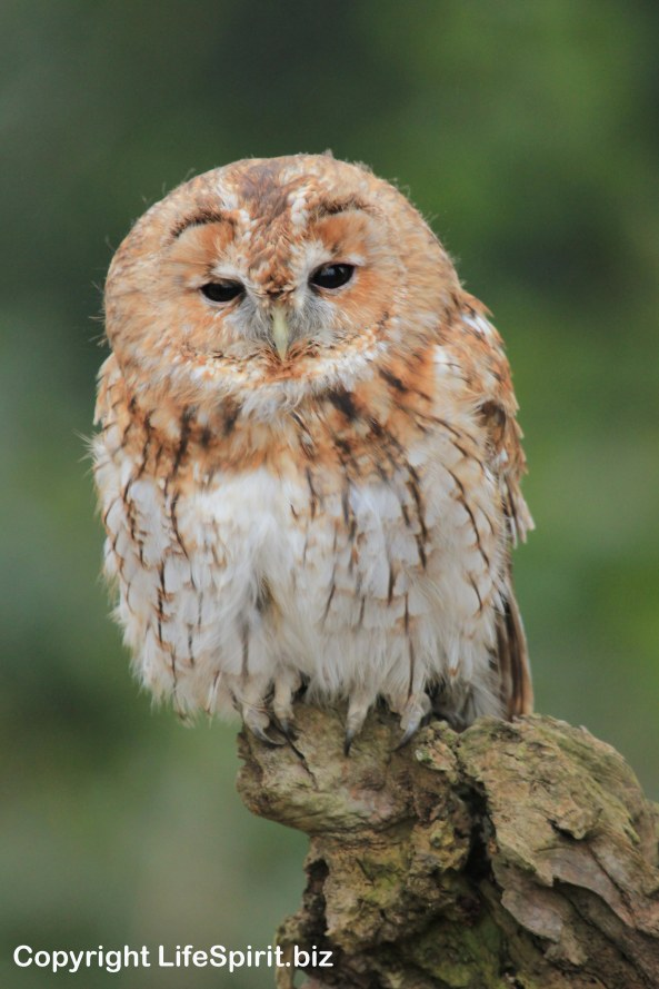 Tawny Owl, Bird f Prey, Nature, Wildlife, Photography, Life Spirit, Photography