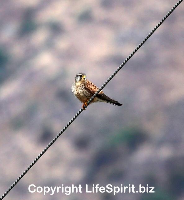 Kestrel, Gran Canaria, Life Sprit, Mark Conway, Bird of Prey