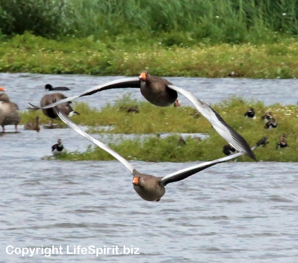 Greylag Geese, Nature, Birds, Wildlife, Life Spirit, mark Conway