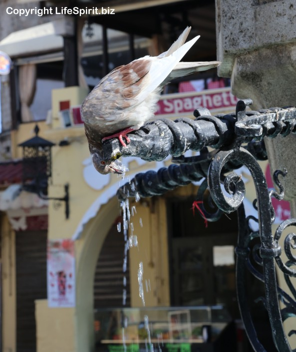 Pigeon, Rhodes Town, Greece, Birds, Wildlife Photography, Life Spirit, Mark Conway