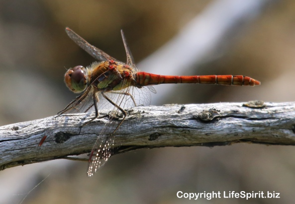 Dragonfly, East Yorkshire, Nature, Wildlife Photography, Mark Conway, Life Spirit