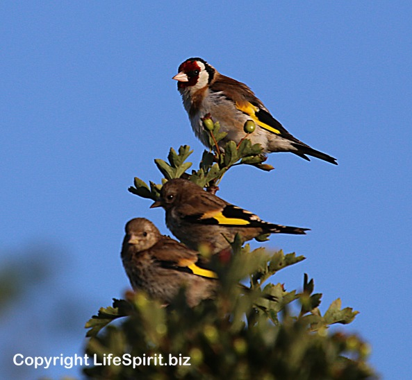 Goldfinch, East Yorkshire, Nature, Birds, Wildlife Photography, Mark Conway, Life Spirit