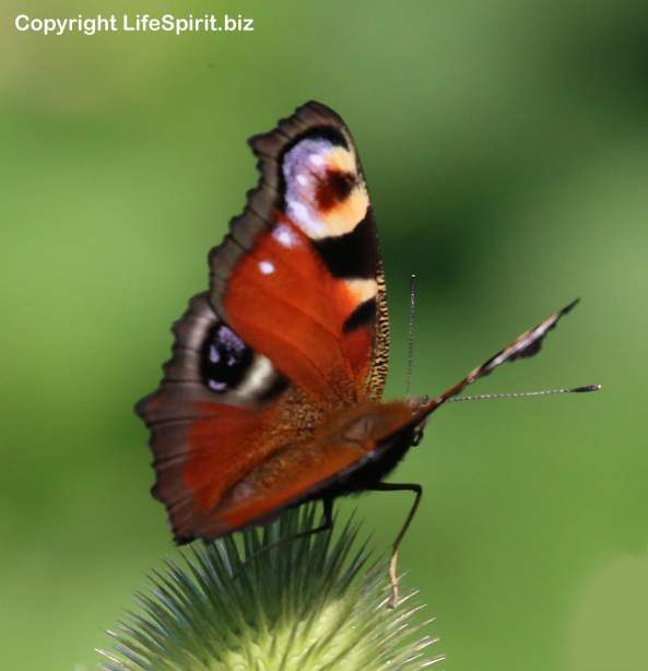 Peacock Butteryfly, Insects, Nature, Wildlife, Photography, East Yorkshire, Mark Conway, Life Spirit