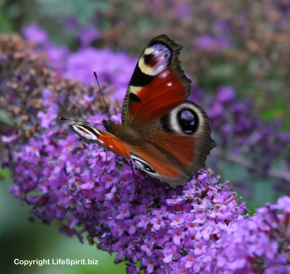Peacock Butterfly, Nature, Wildlife Photography, Life Spirit, Mark Conway