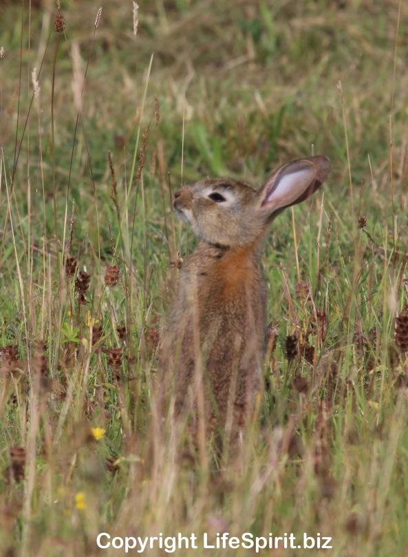 Rabbit, Nature, Wildlife, Photography, Mark Conway, Life Spirit