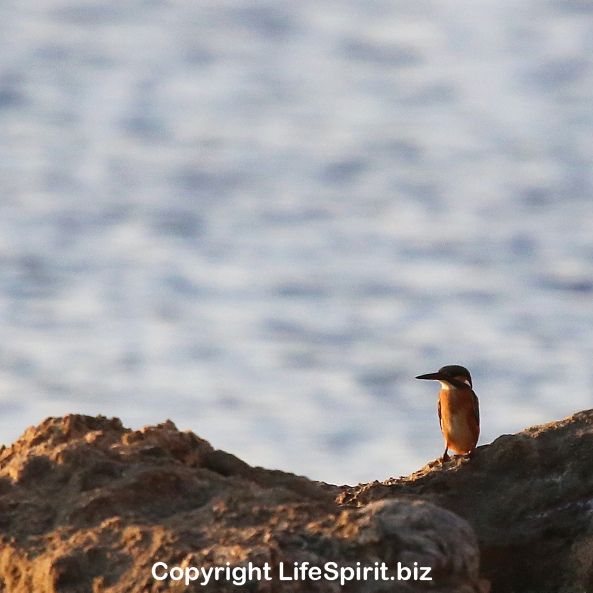 Kingfisher, Birds, nature, Wildlife Photography, Life Spirit, Mark Conway