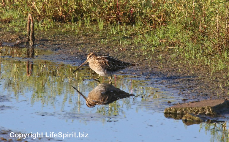 Snipe, Birds, East Yorkshire, Life Spirit, Mark Conway, Nature