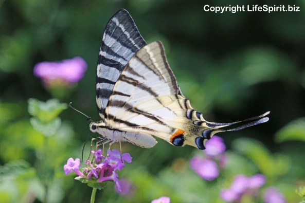 Swallowtail Butterfly, Nature, Wildlife Photography, Photography, Mark Conway, Life Spirit