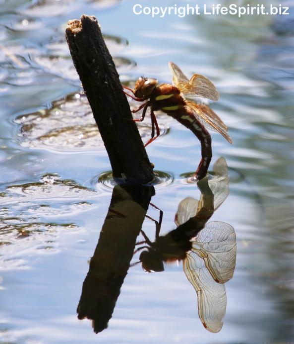 Dragonfly, Nature, Wildlife, Photography, mark Conway, Life Spirit