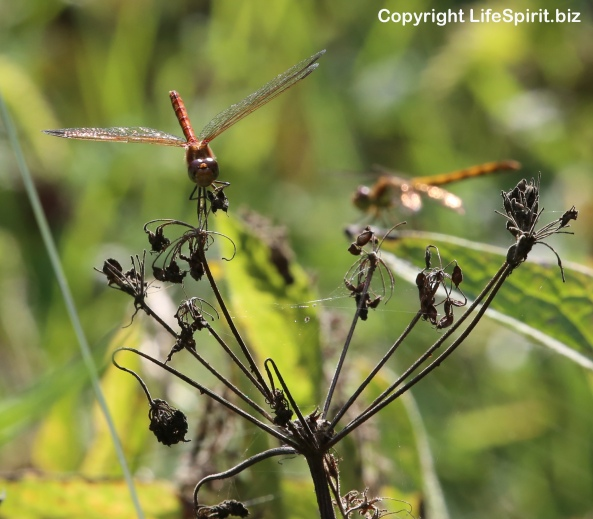 Dragonfly, East Yorkshire, Mark Conway, nature, Wildlife Photography, Life Spirit
