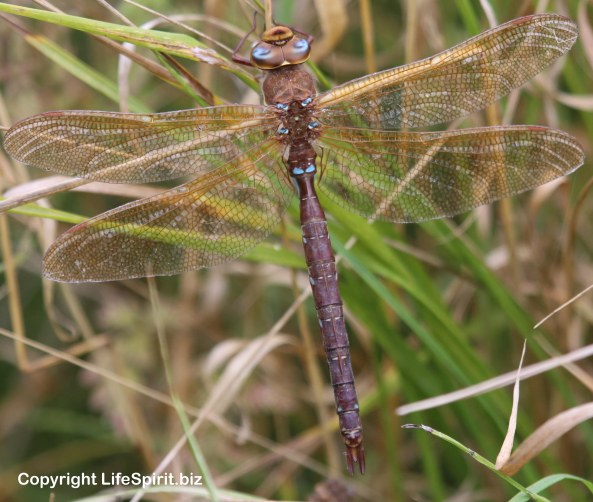 Brown Hawker, Dragonfly, East Yorkshire, Nature, Wildlife Photography, Insects, Mark Conway, Life Spirit