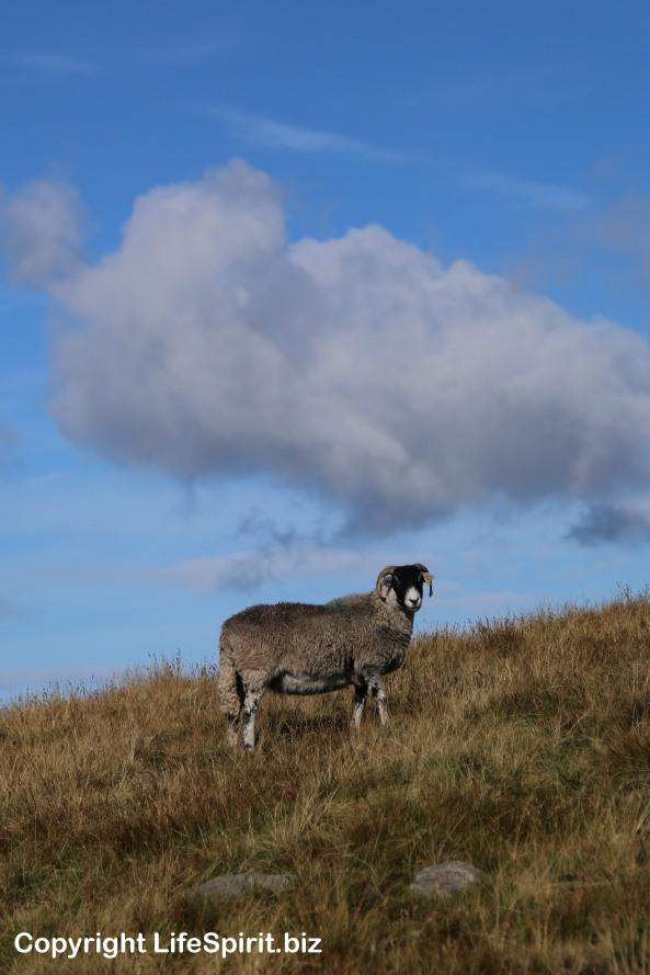 Sheep, Landscape, Yorkshire Dales, National Park, Life Spirit, Mark Conway