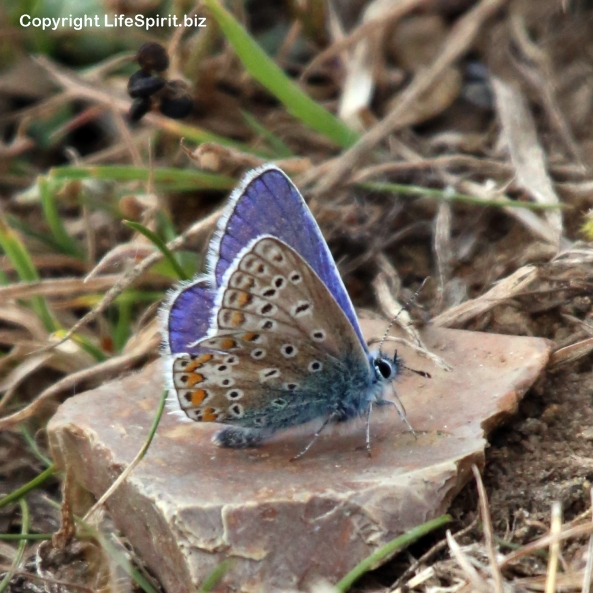 Silver-studded Blue, Insects, Butterfly, Mark Conway, Life Spirit