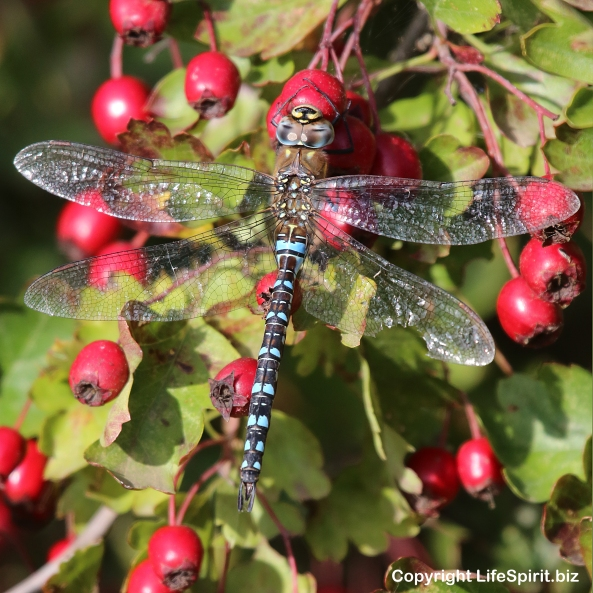 Dragonfly, Azure Hawker, East Yorkshire, Insects, Mark Conway, Life Spirit