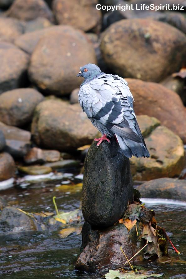 Pigeon, Nature, Wildlife, Photography, Mark Conway, Life Spirit