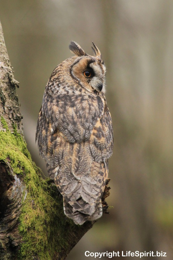 Long-eared Owl, Nature, birds of prey, Mark Conway, Life Spirit