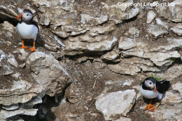 Puffin, Bempton Cliffs, East Yorkshire, Birds, Mark Conway, Nature, Wildlife Photography, Life Spirit