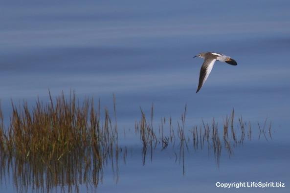 Redshank, Spurn Point, Birds, Wildlife Photography, Nature, Mark Conway, Life Spirit