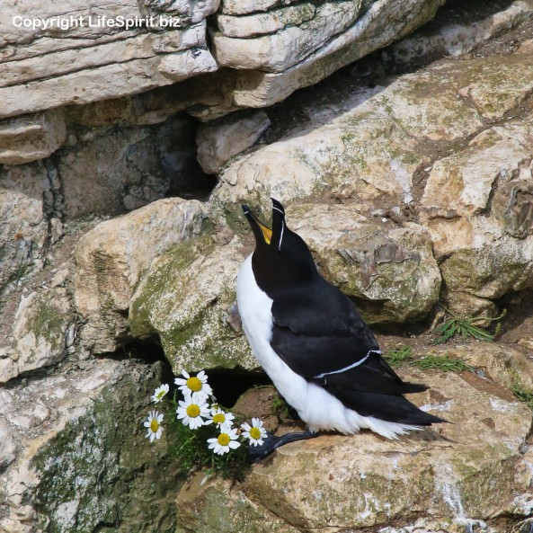 Razorbill, Bempton Cliffs, East Yorkshire, Nature, Mark Conway, Life Spirit