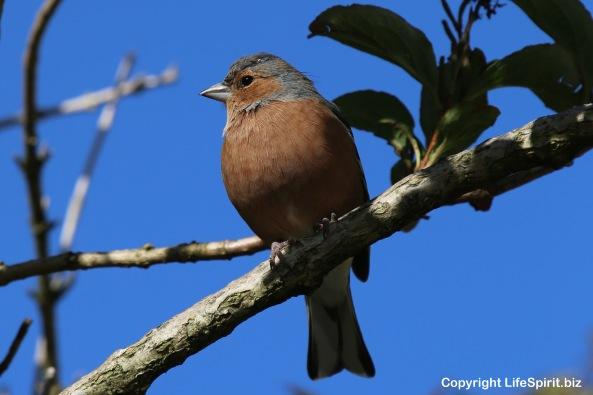 Chaffinch, Birds, nature, Wildlife Photography, Mark Conway, Life Spirit
