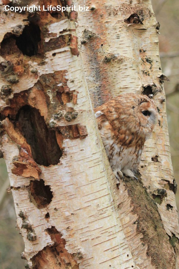 Tawny Owl, Surrey, Bird of Prey, Nature, Wildlife Photography, Mark Conway, Life Spirit