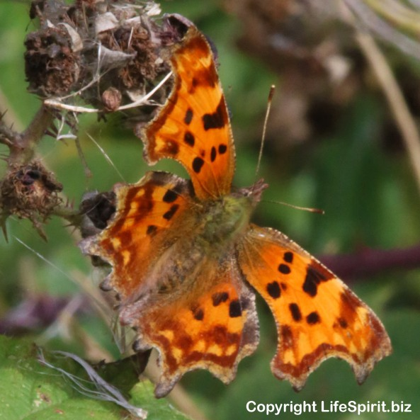 Comma, Butterfly, East Yorkshire, Insects, Nature, Wildlife Photography, Mark Conway, Life Spirit