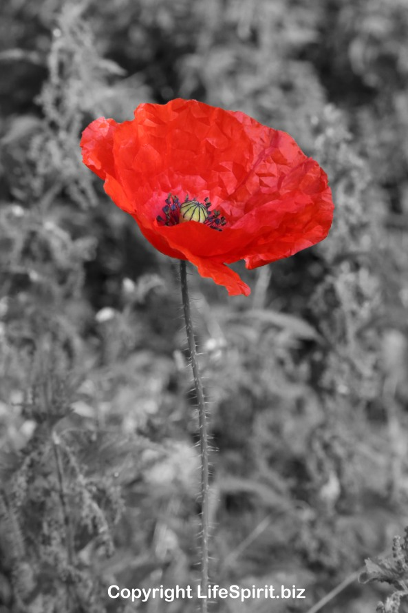 Poppy, Nature, Flower, Remembrance, Mark Conway, Life Spirit