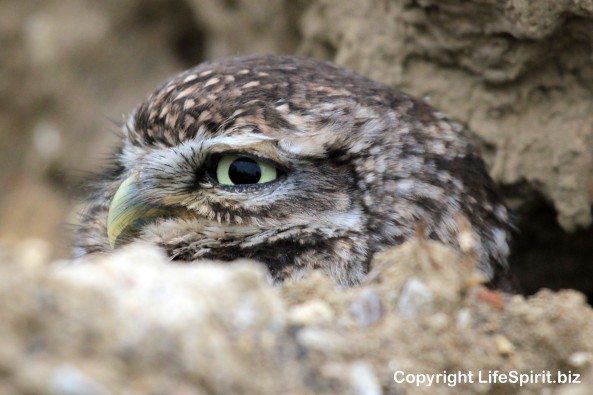 Little Owl, Surrey, Nature, Owls, Wildlife. Phototgraphy, mark Conway, Life Spirit