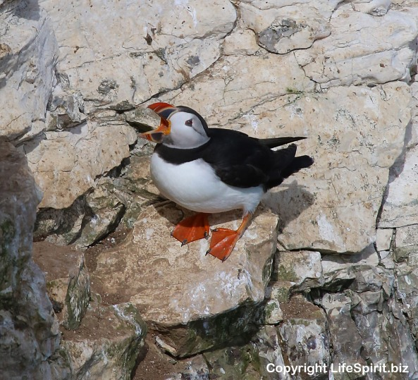 Puffin, Bempton Cliffs, East Yorkshire, Wildlife, Nature Photography Mark Conway, Life Spirit