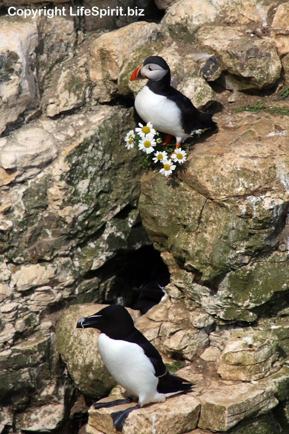 Razorbill, Puffin, Bempton Cliffs, East Yorkshire, Nature, Wildlife Photography, Life Spirit, Mark Conway