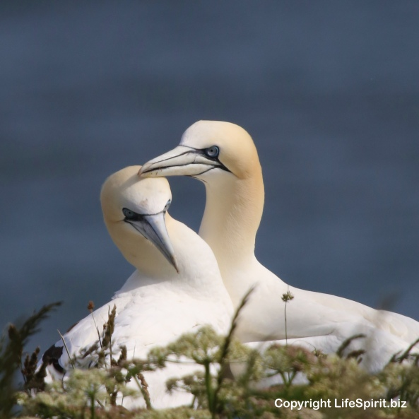 Gannet, East Yorkshire, Bempton Cliffs, Nature, Wildlife Photography, Life Spirit, Mark Conway