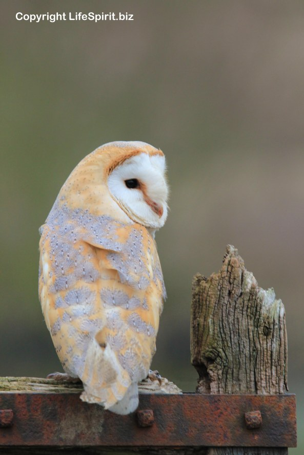 Barn Owl, Surrey, Birds of Prey, Nature, Wildlife Photography, Life Spirit, mark Conway