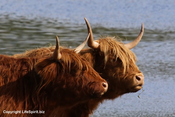 Highland Cattle, East Yorkshire, Life Spirit, Mark Conway, Nature, Wildlife Photography