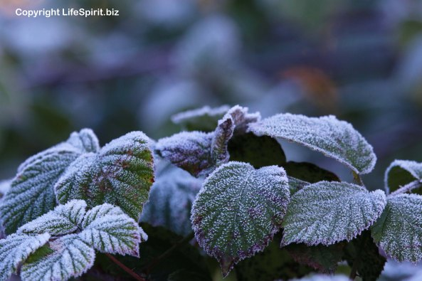Bramble, Flowers, Frost, Winter, Life Spirit, Mark Conway