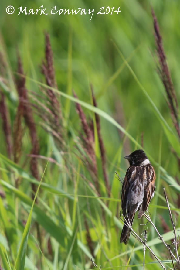 Reed Bunting, Birds, Life Spirit, Mark Conway, Nature, Wildlife Photography, East Yorkshire