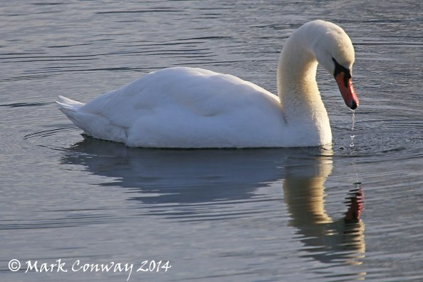 Swan, East Yorkshire, Nature, Wildlife Photography, Birds, Life Spirit, Mark Conway